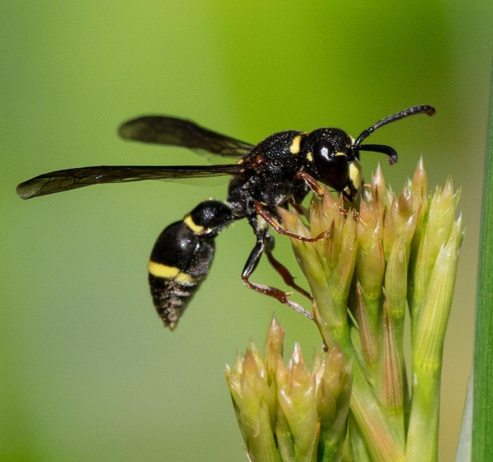 Potter Wasp,   Paralastor sp.  – HYMENOPTERA (Vespidae)