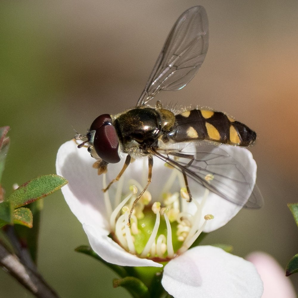 Hover Fly, Melangyna sp.–  DIPTERA