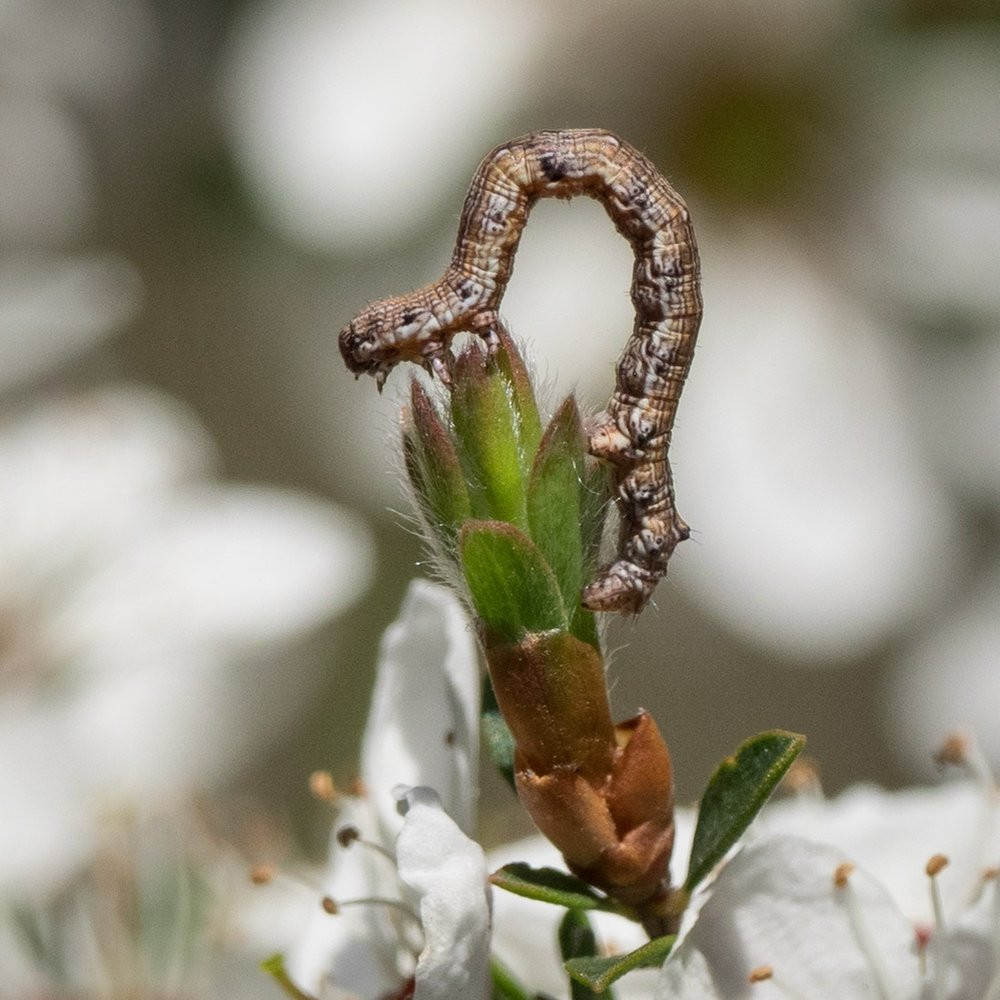 Looper caterpillar – LEPIDOPTERA