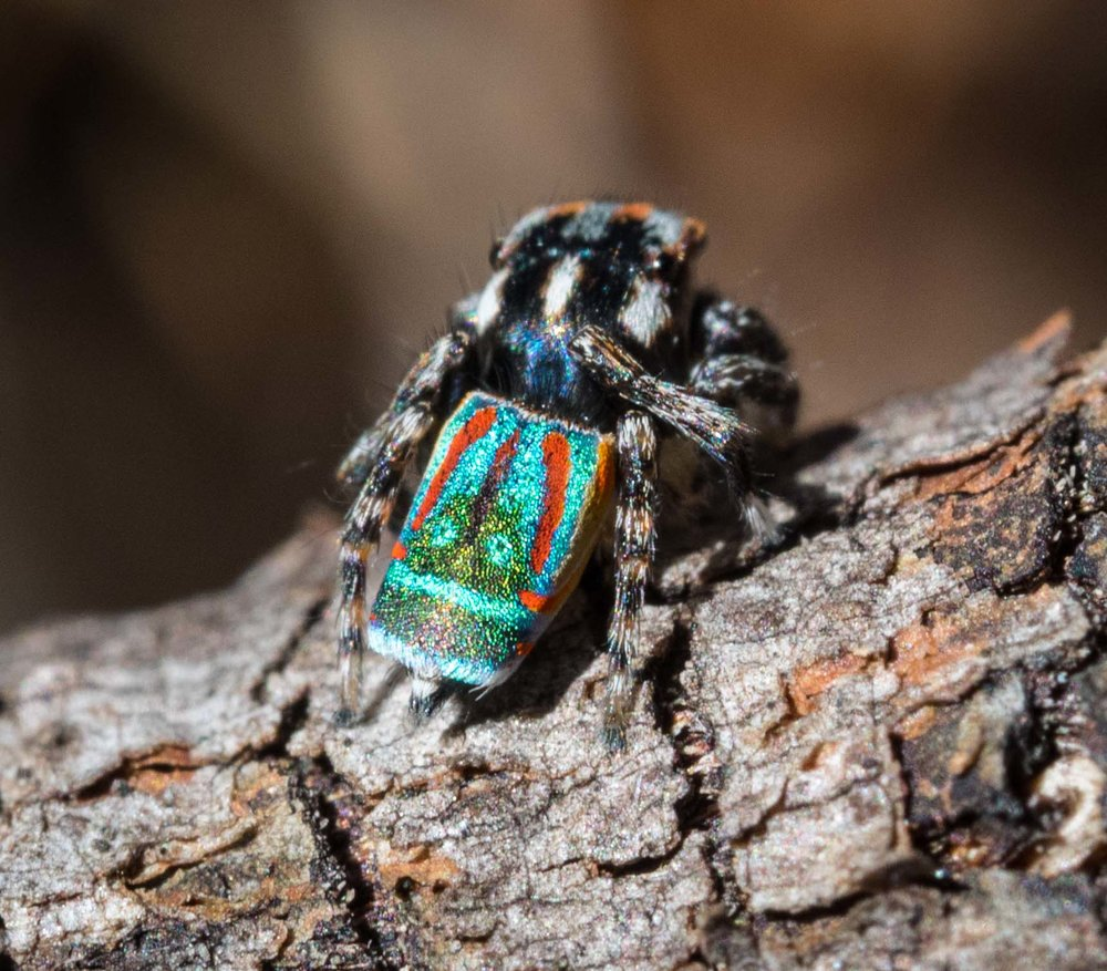 Maratus volans  (Flying Peacock Spider)