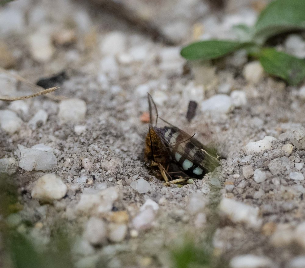 4:  Shortly after this shot, the wasp re-emerged, kicked sand across the burrow opening, and flew off.