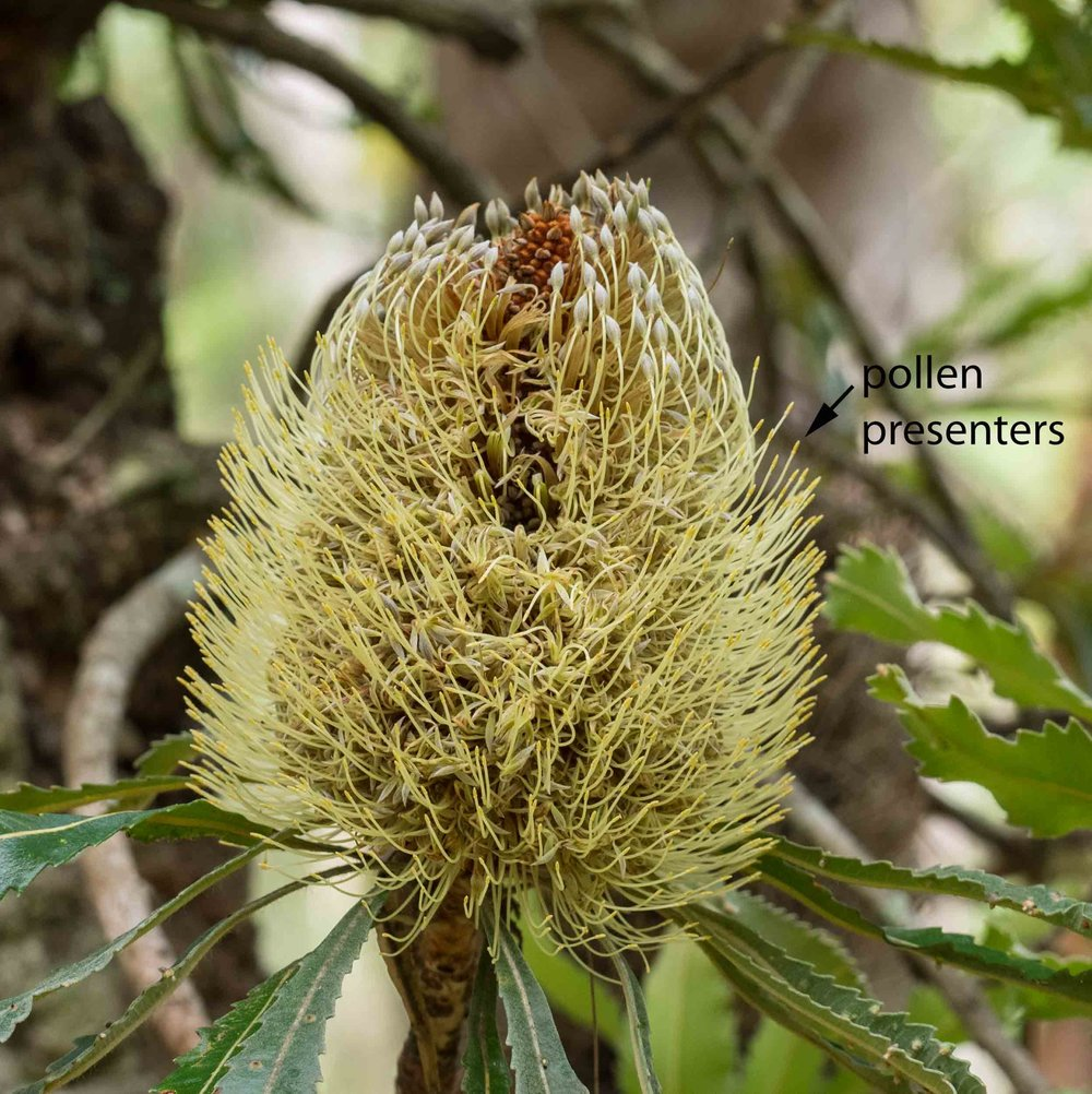 Summer flowering of proteaceae life in a southern forest the style is called a pollen presenter any animal that tries to access the nectar in the base of each banksia flower mightylinksfo