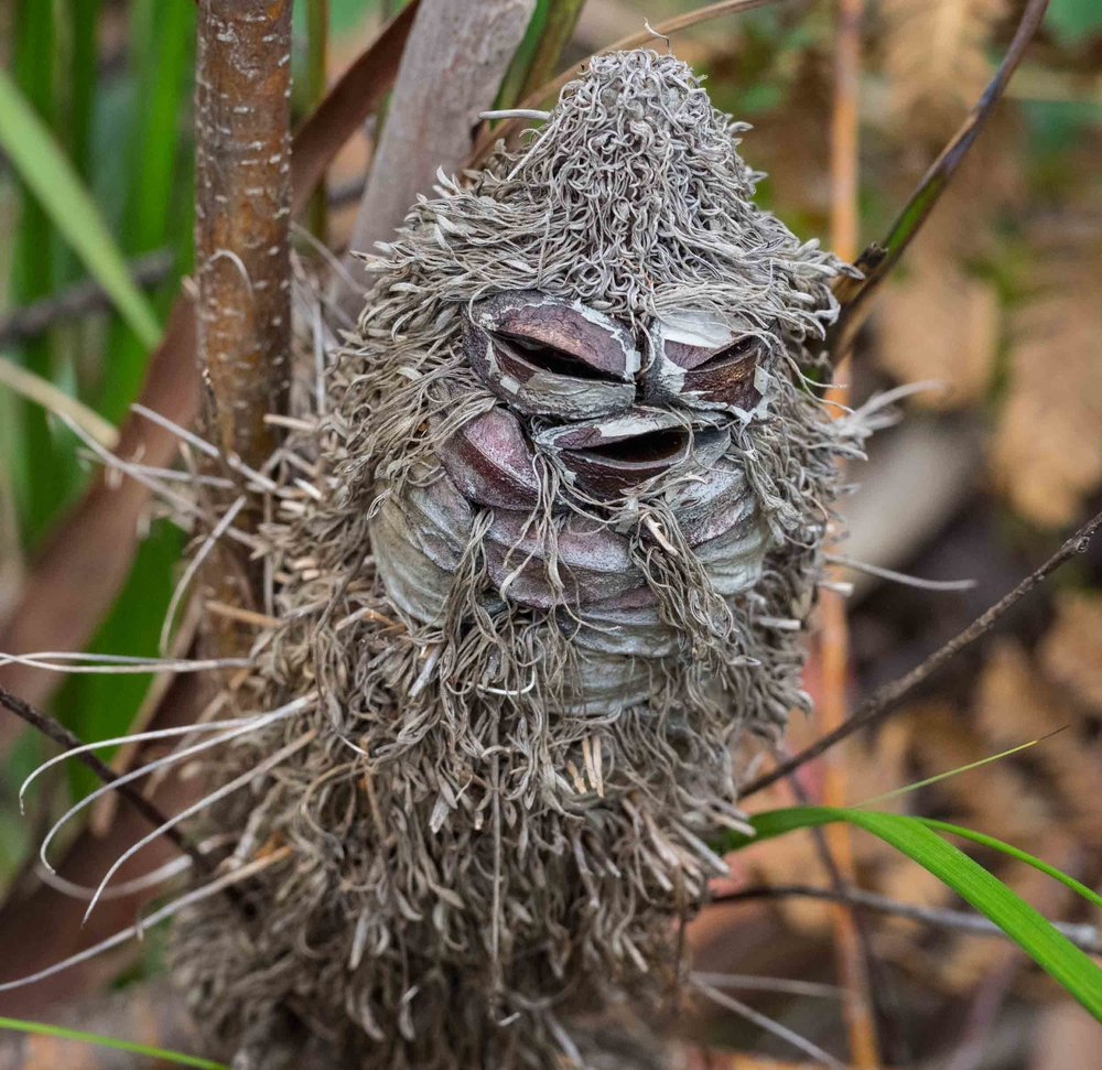 An old  Banksia spinulosa  cone - a Banksia Man!