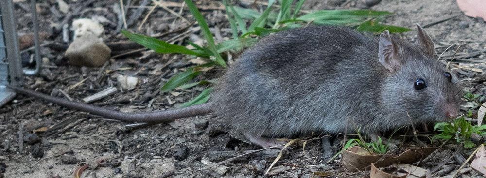 Bush Rat