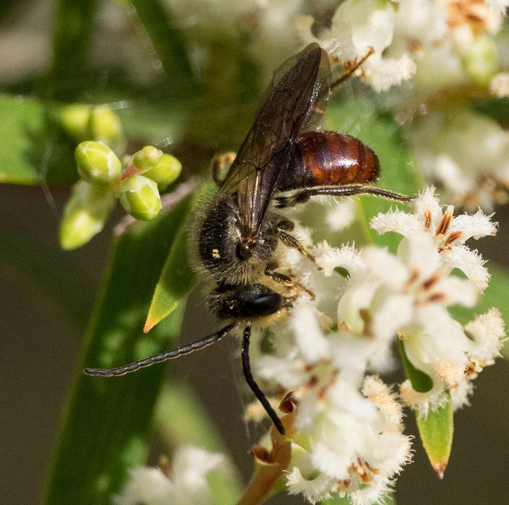 Leioproctus (Leioproctus) sp. (Family: Colletidae; sub-family: Leioproctus)