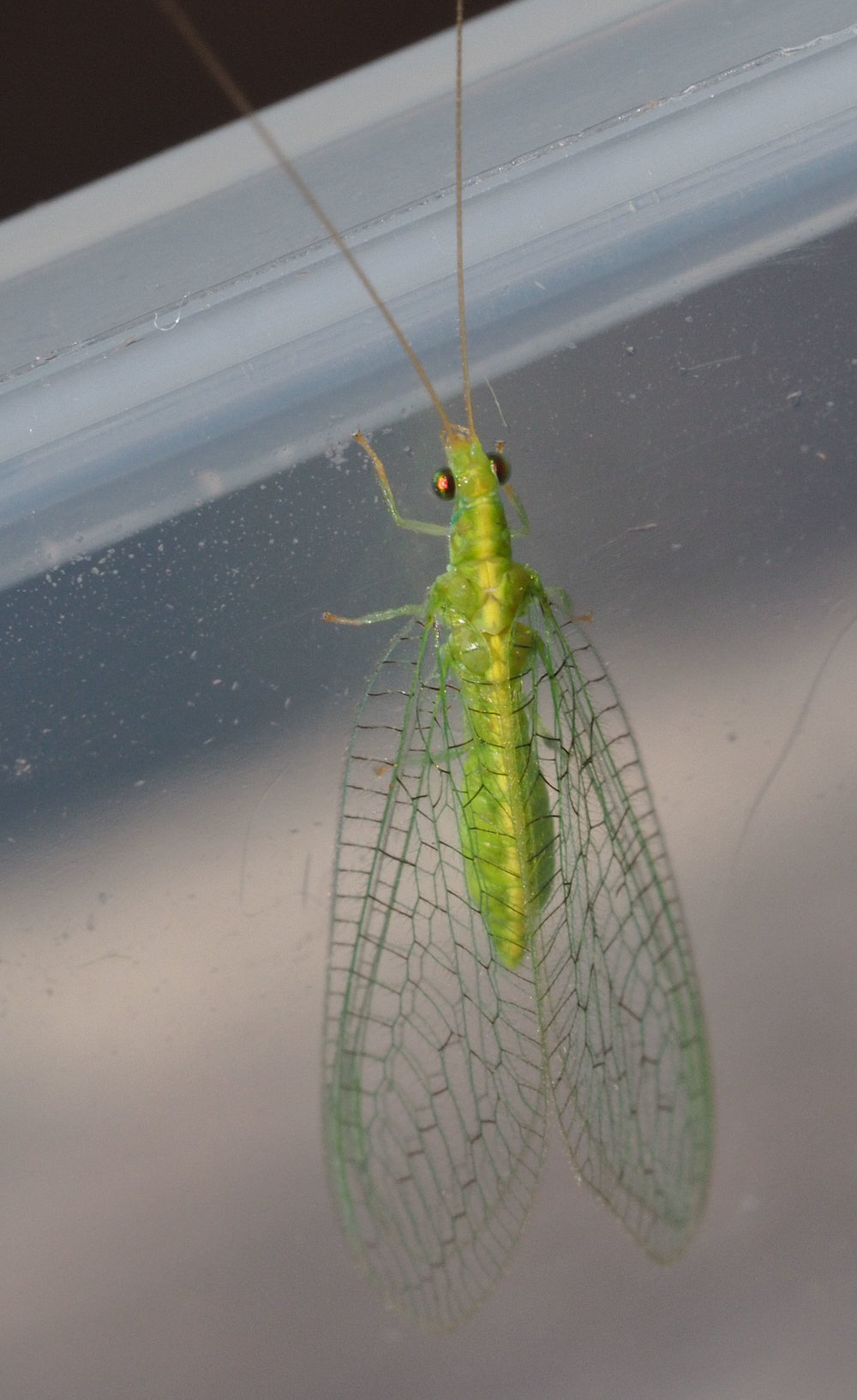 Golden Eye Lacewing