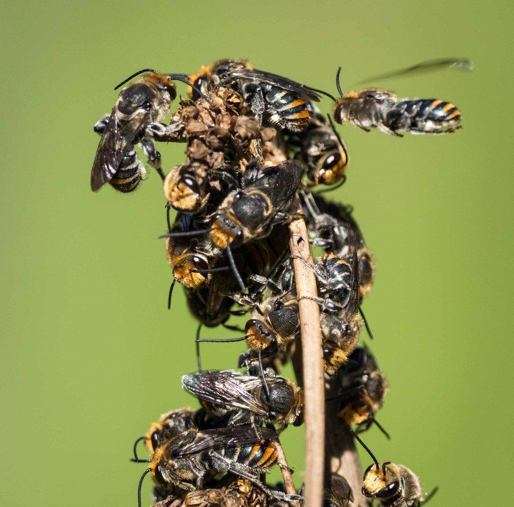 Lipotriches (Austronomia)australica