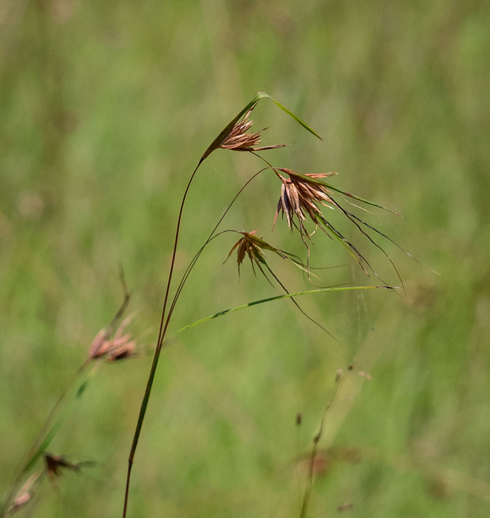 Themeda triandra  (Kangaroo Grass)