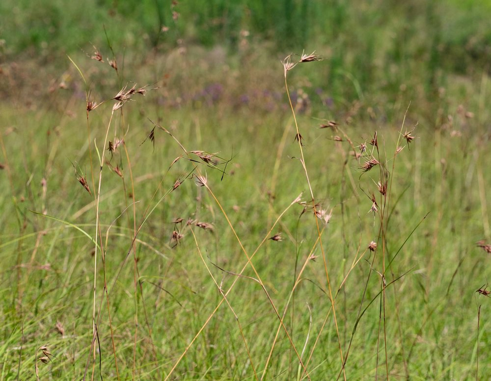 In some areas,  Themeda  seed heads dominated the landscape