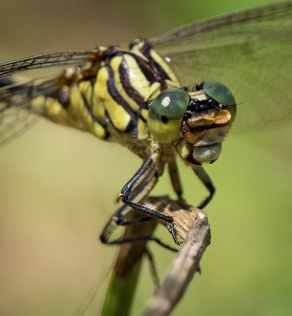 Austrogomphus guerini  (Yellow-striped Hunter)   - female