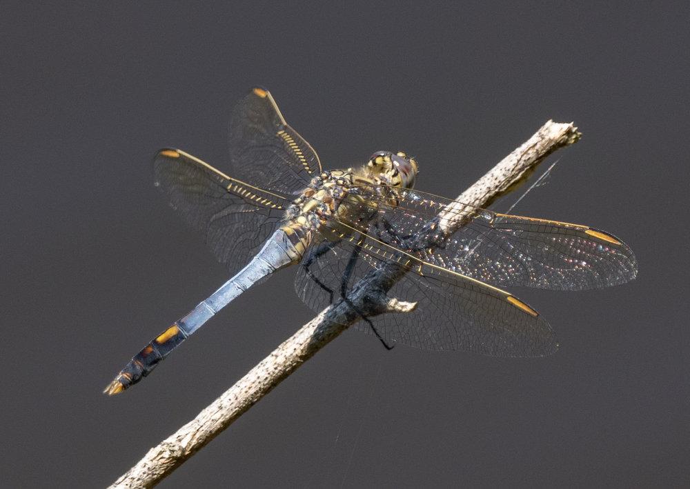 Orthetrum caledonicum (Blue Skimmer)- male