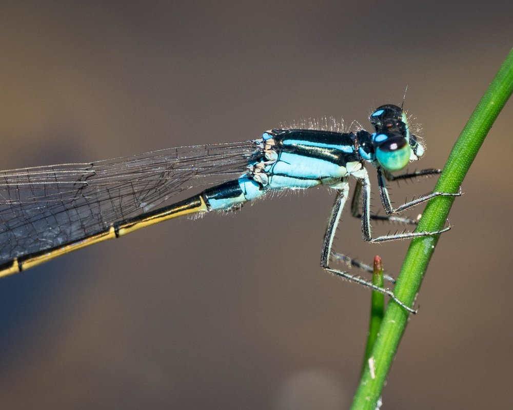 Ischnura heterosticta  (Common Bluetail) - male