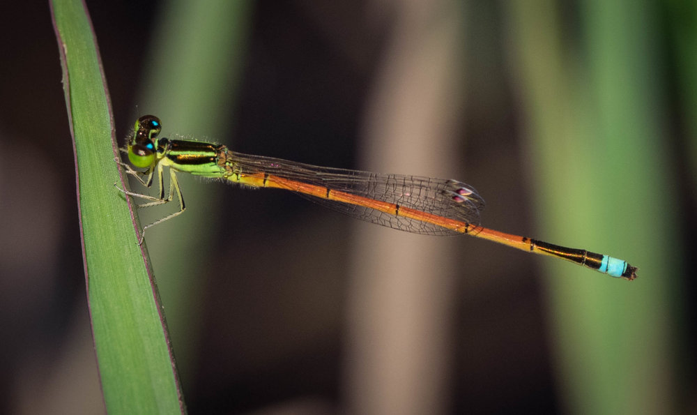 Ischnura aurora (Aurora Bluetail)- male