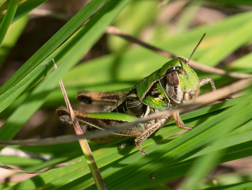 a grasshopper nymph    Order: Orthoptera; Family: Acrididae