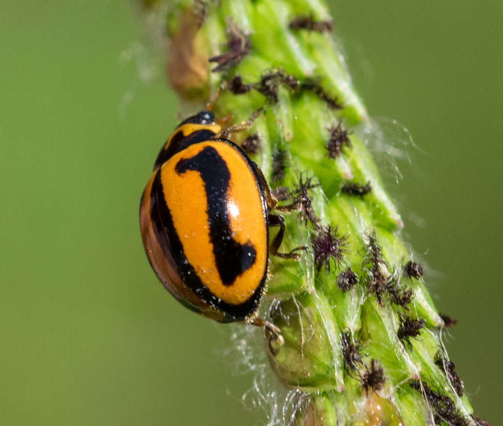 Striped Ladybird