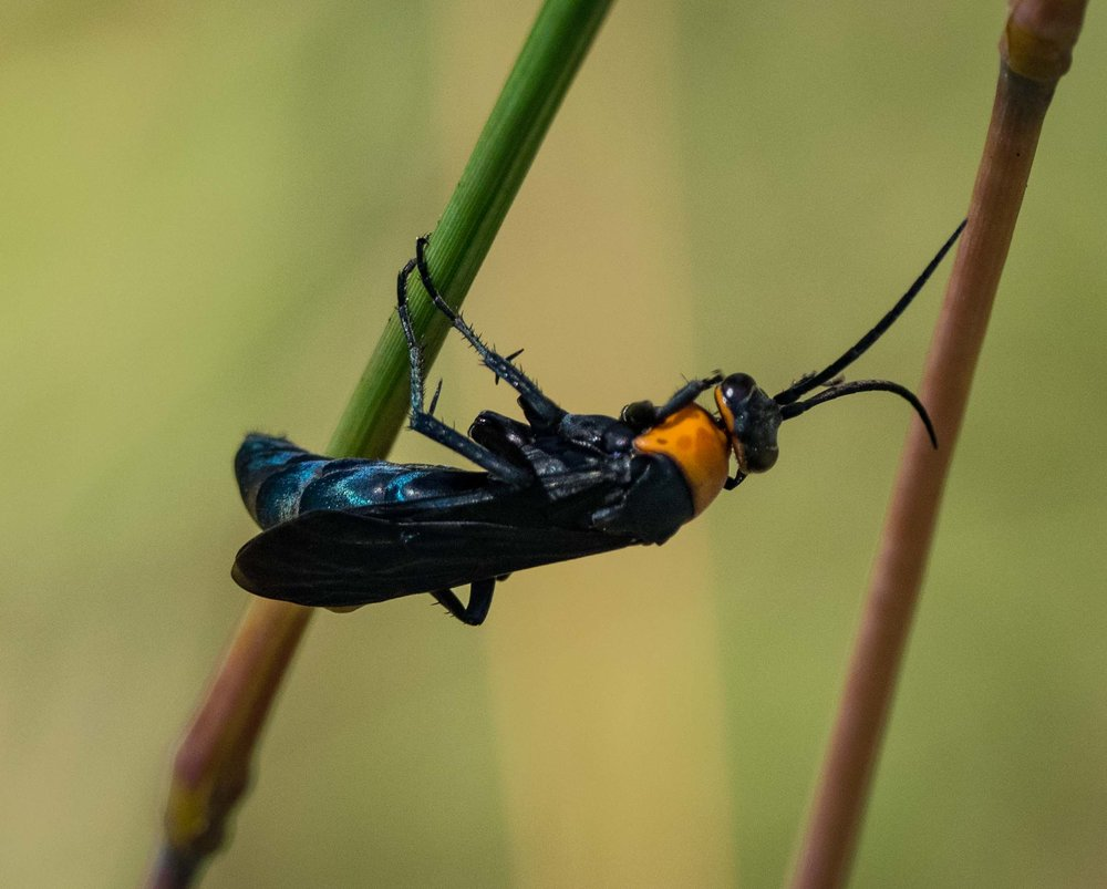 Orange-collared Spider Wasp