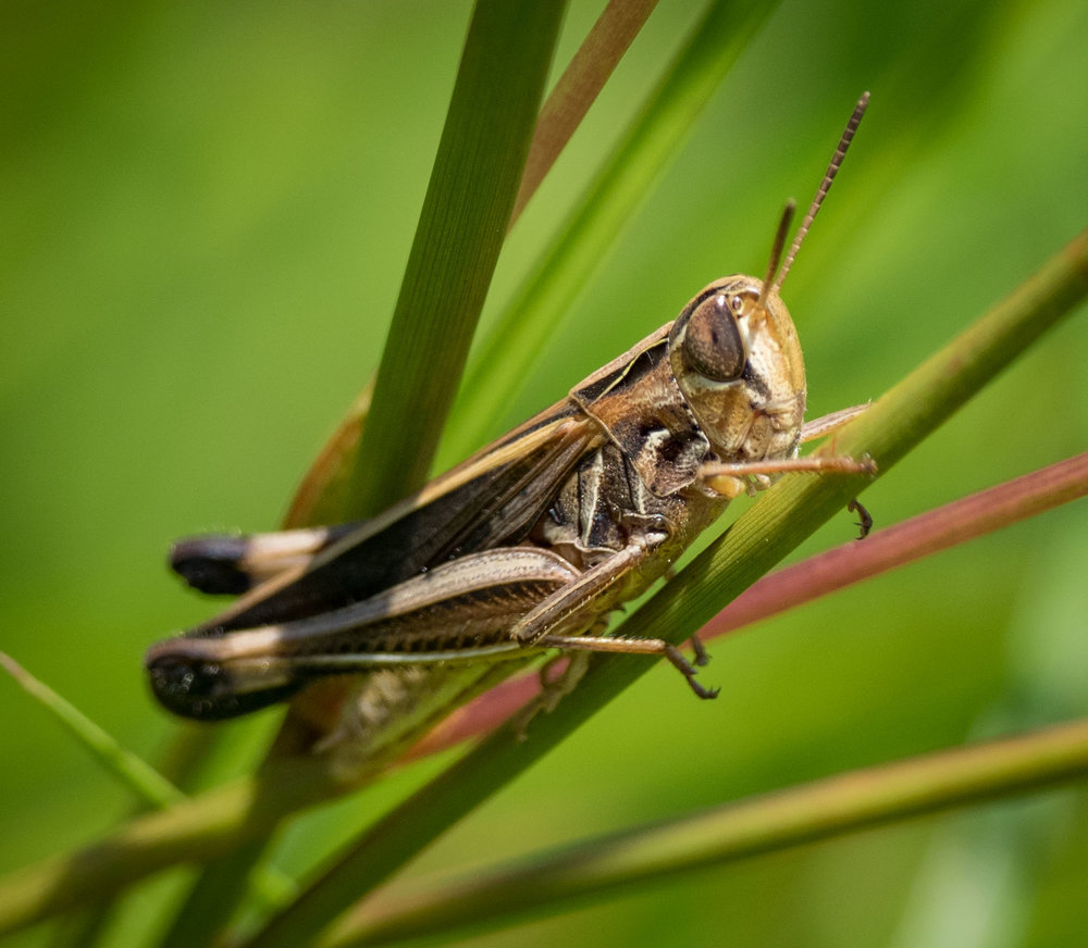 a different grasshopper species, this one a winged adult  Order: Orthoptera; Family: Acrididae