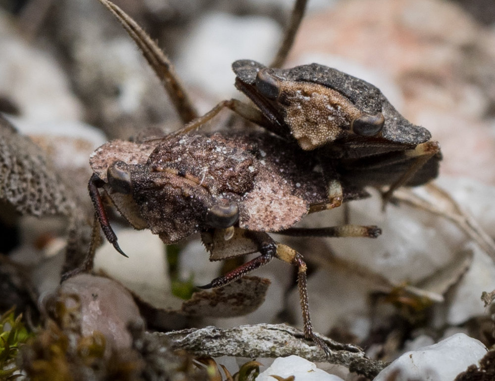 Mating Toad Bugs