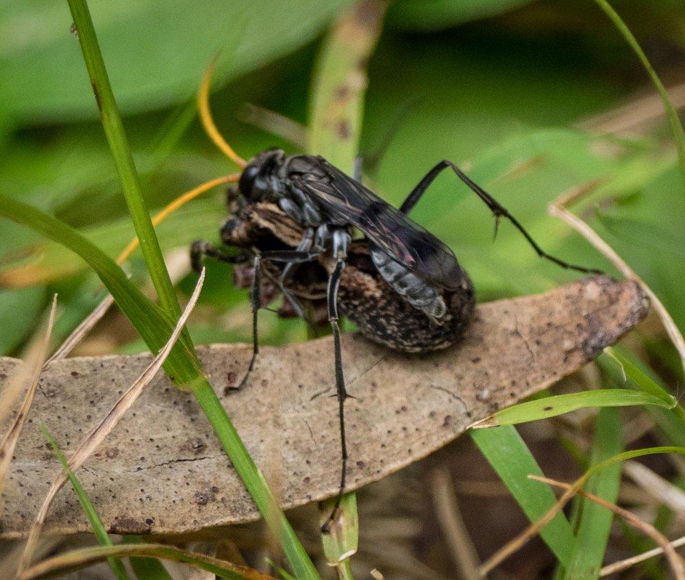 Spider wasp