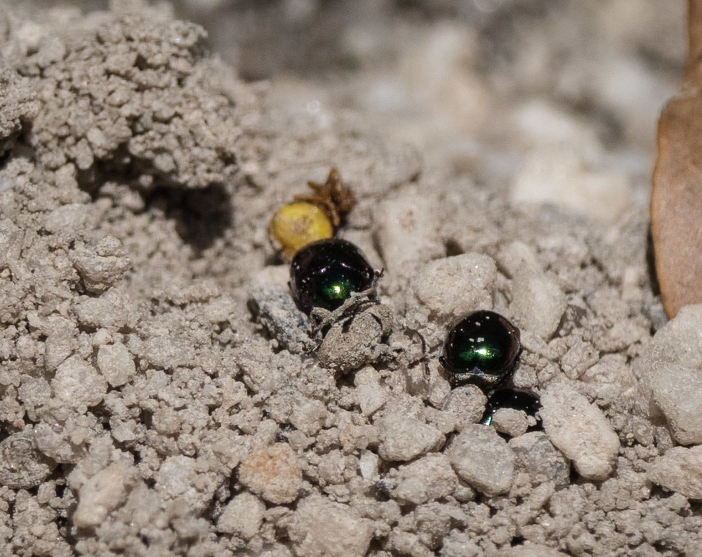 The closed door, with discarded insect carcasses. The shiny little beetle bodies are Cylindrical Leaf Beetles ( Ditropidus sp.  Family Chrysomelidae). They're just 2.5mm long.