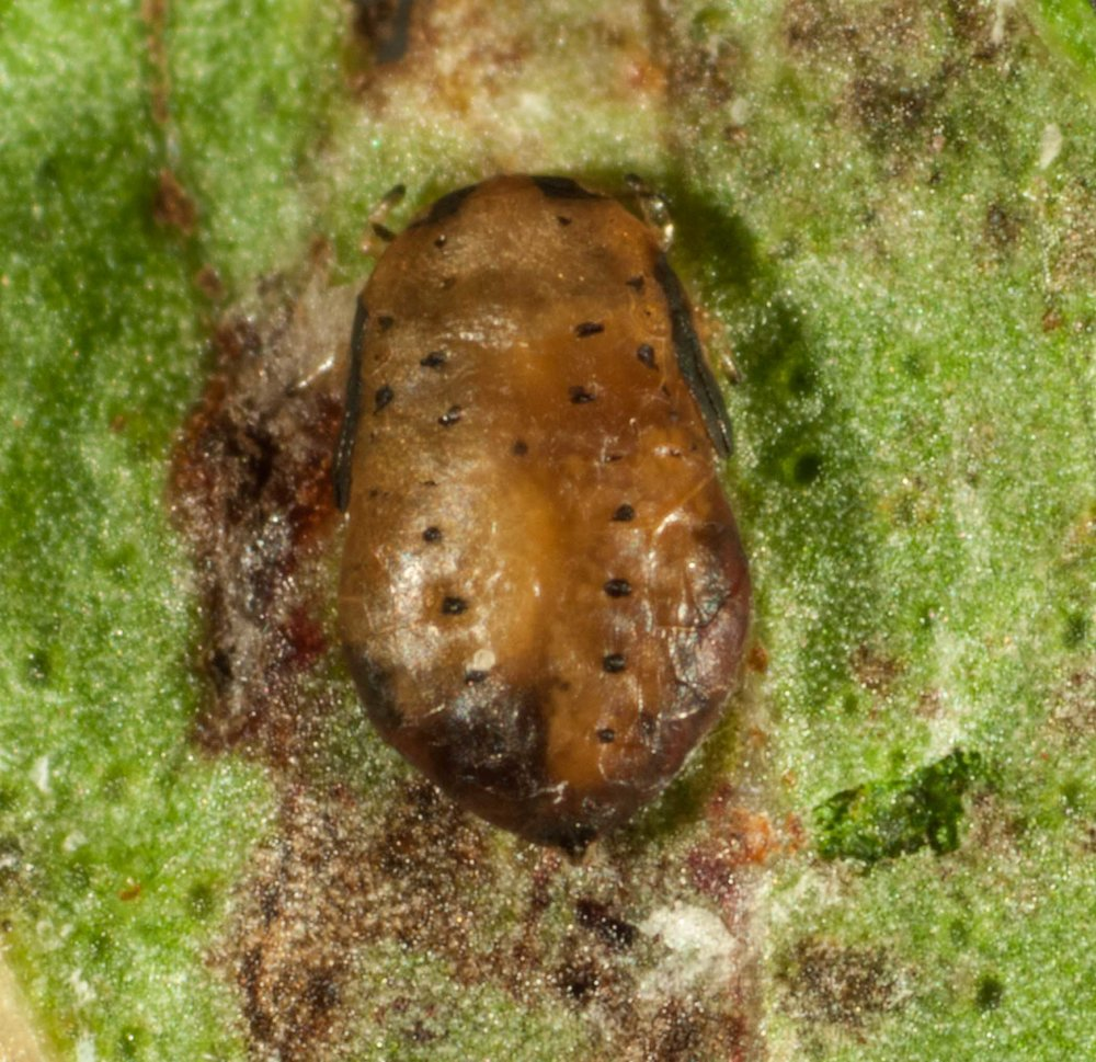 The husk of a Hyalinaspis nymph with a wasp larva or pupa living inside.