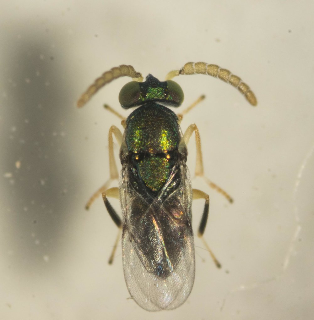The tiny (3mm long) iridescent green wasp that escaped from a psyllid husk as I cut it open