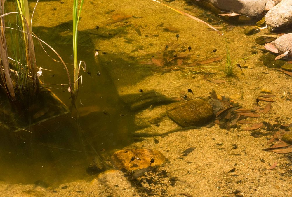 Hundreds of large Emerald-spotted Tree Frog tadpoles inhabit the pond