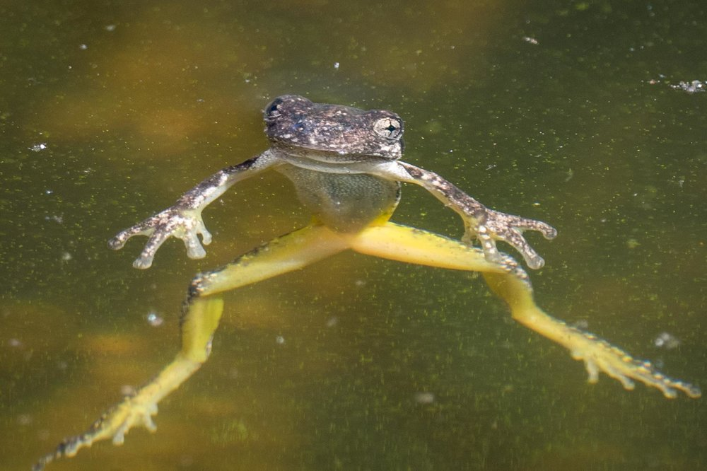 A young froglet (looking like Kermit)which hasn't yet left its aquatic existence