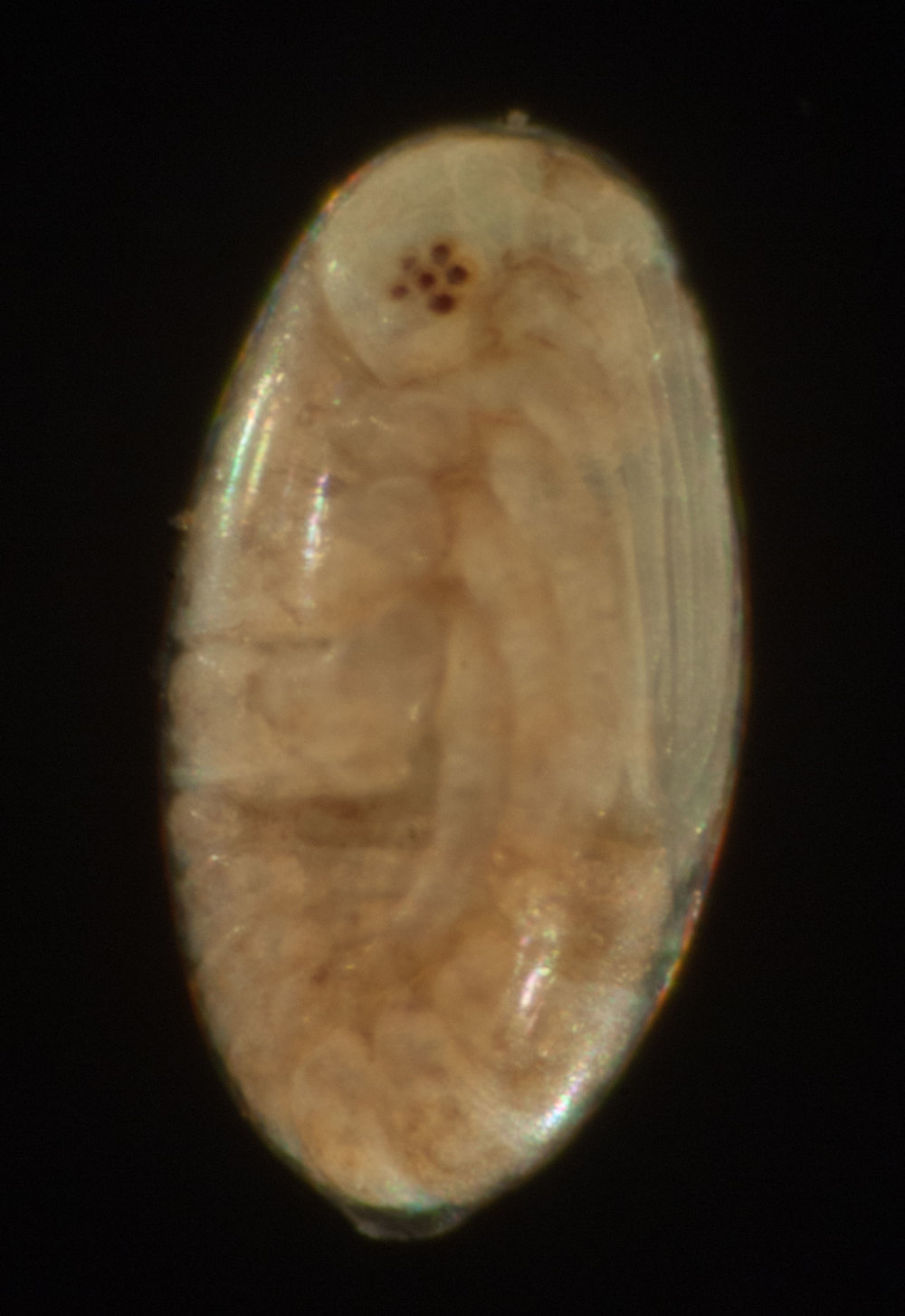 A side view of the same embryo reveals one of its pair of eyes. Each consists of just six visual units, called ommatidia. Adult insects typically have eyes with thousands of ommatidia. The rear end of the embryo now curls forwards and lies just beneath the limbs. Tightly packed in there!