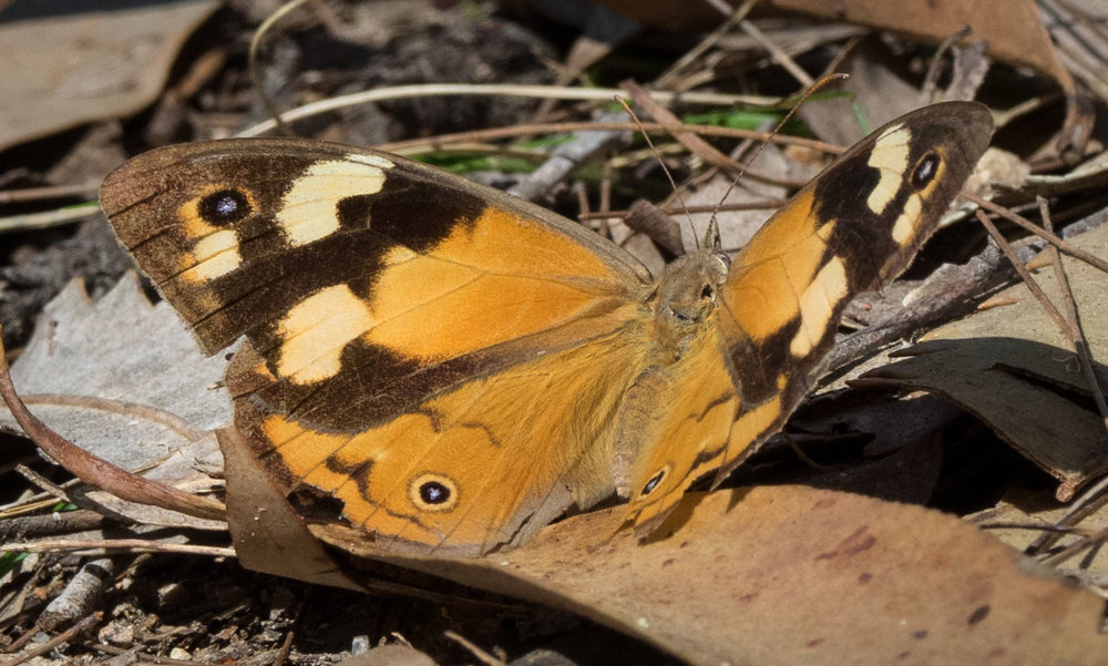 This female  Heteronympha merope  may be 7-8 months old!