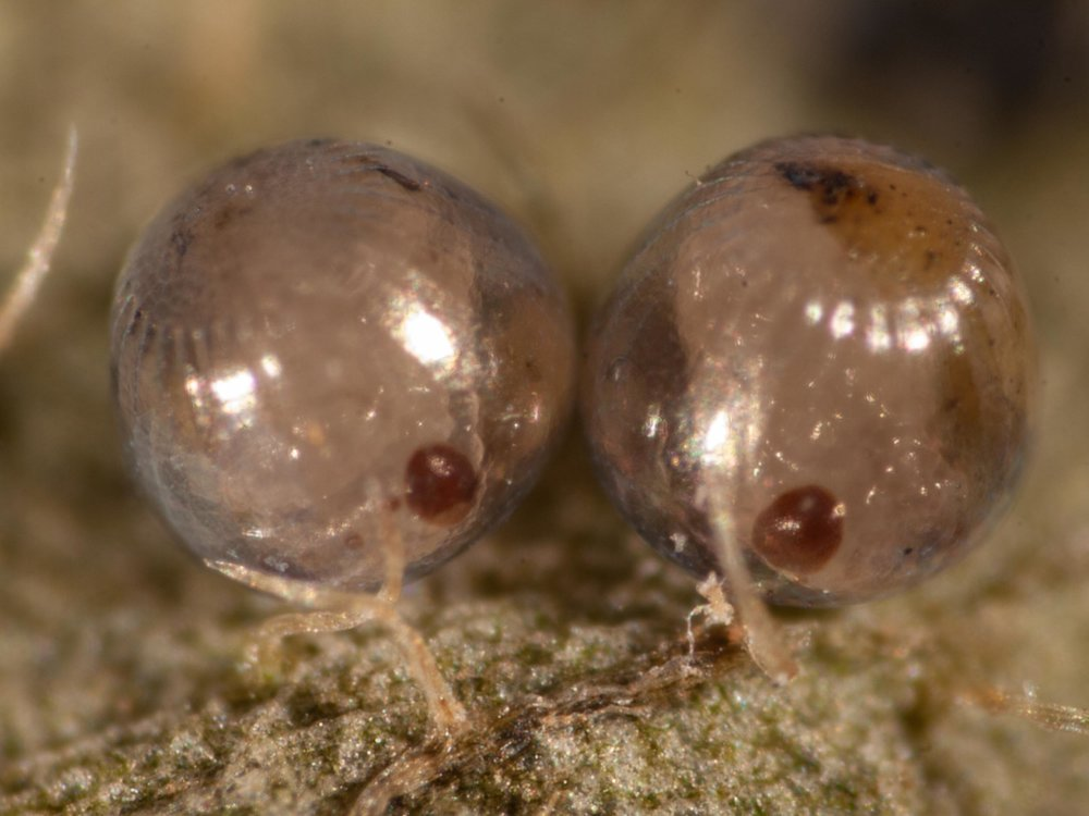 Day 12. The three ocelli can be more clearly seen in the embryo on the left. It also shows a long, segmented antenna growing out from beneath its left eye.