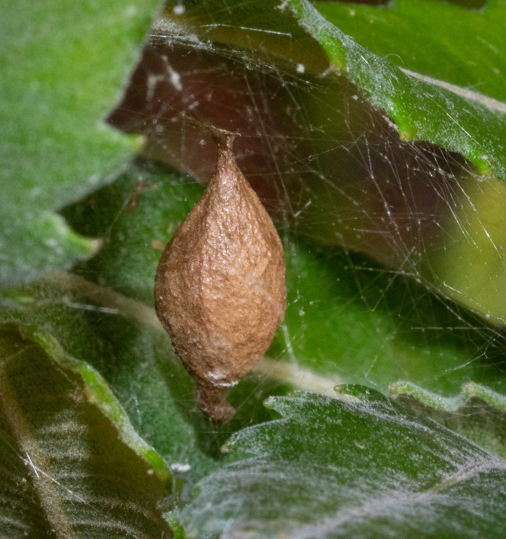 A second egg case, smaller and quite likely to be still full of developing eggs.