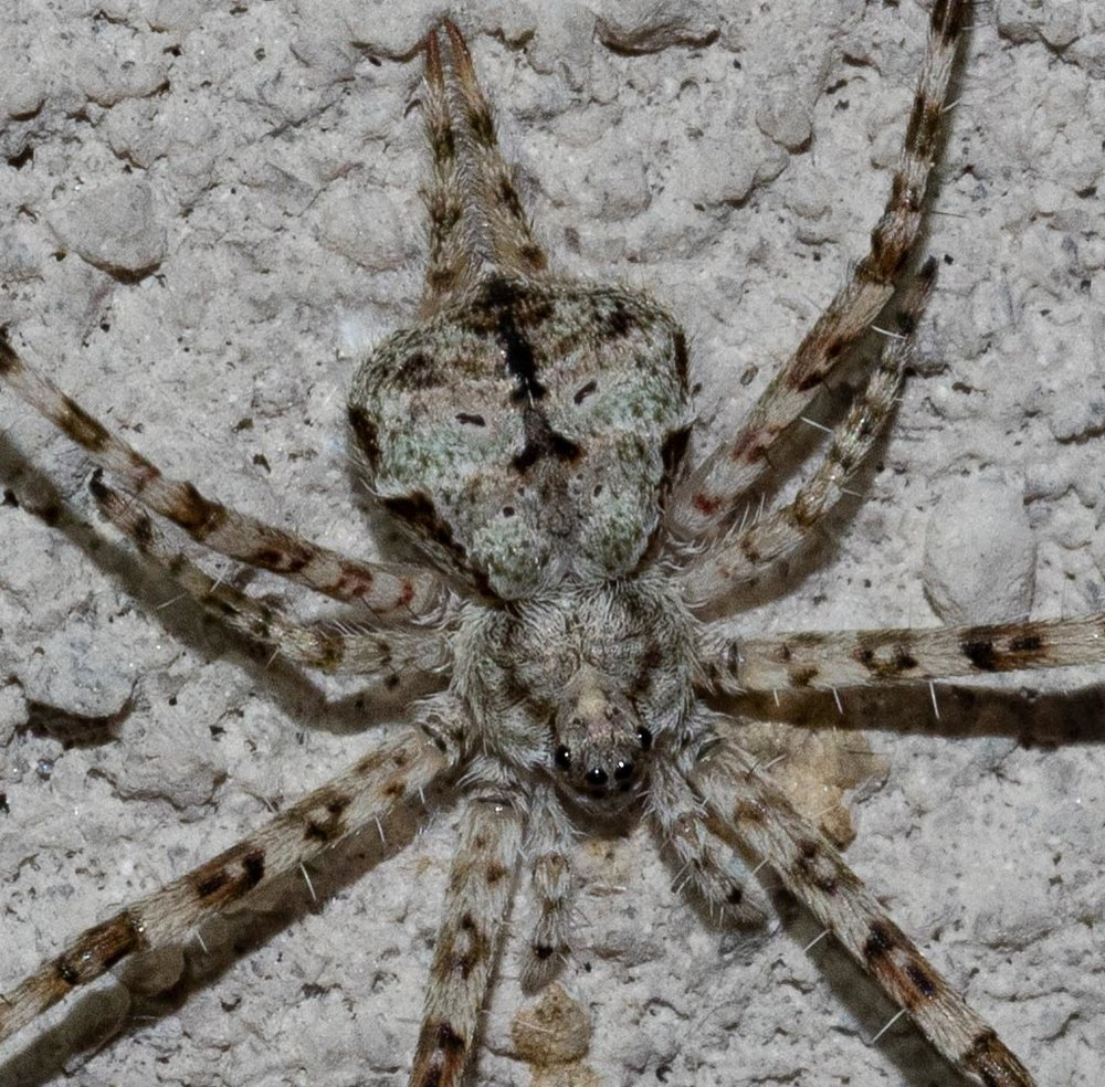 Two-tailed Spider,  Tamopsis sp.    Family: Hersiliidae