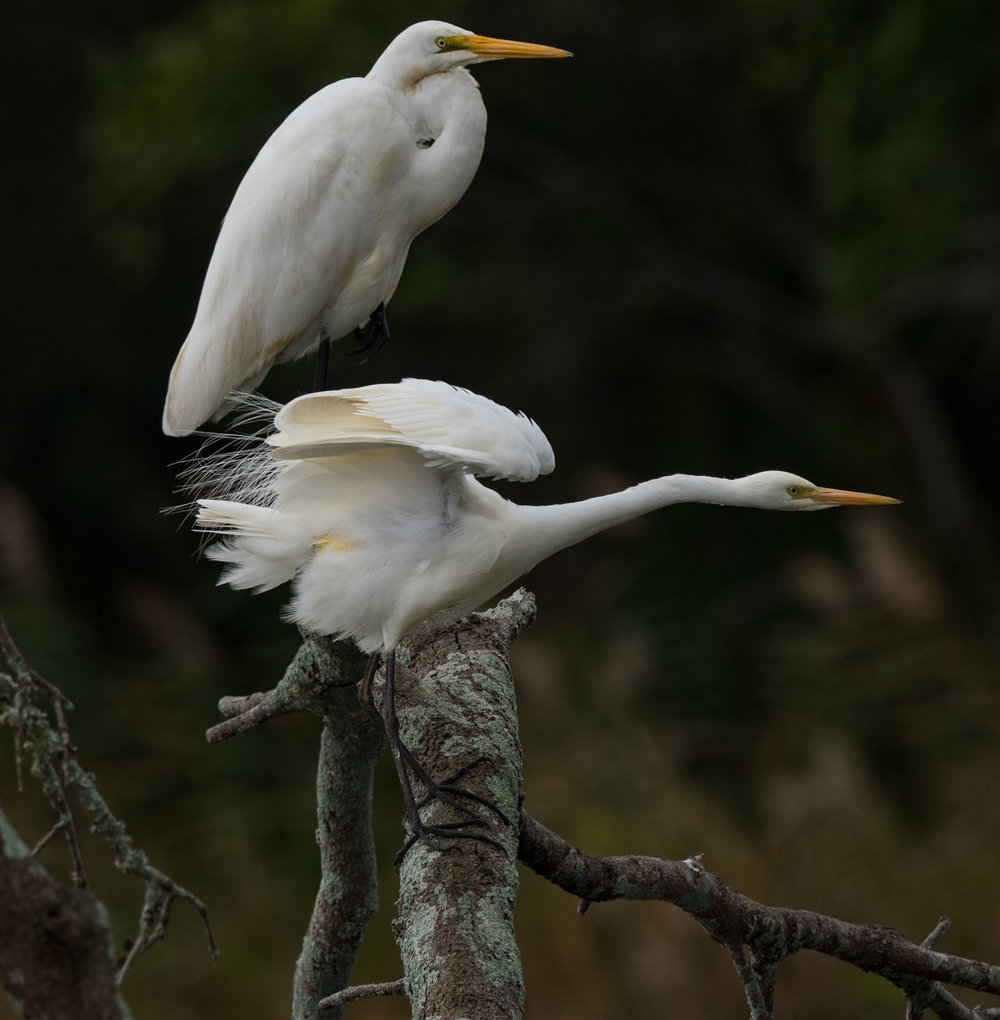 Great Egret (above) and Intermediate Egret