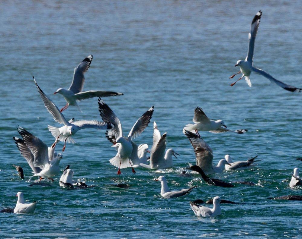 Little Black Cormorants & Silver Gulls