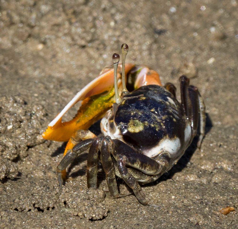 Fiddler Crab