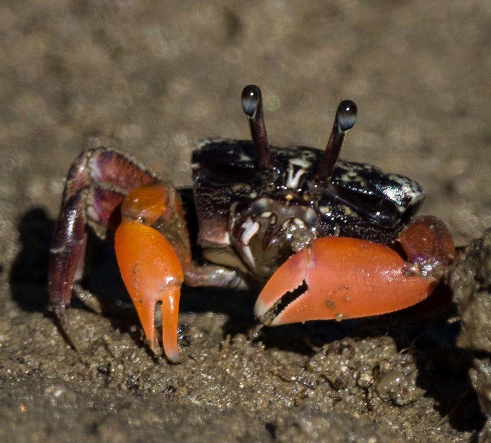 Semaphore Crab