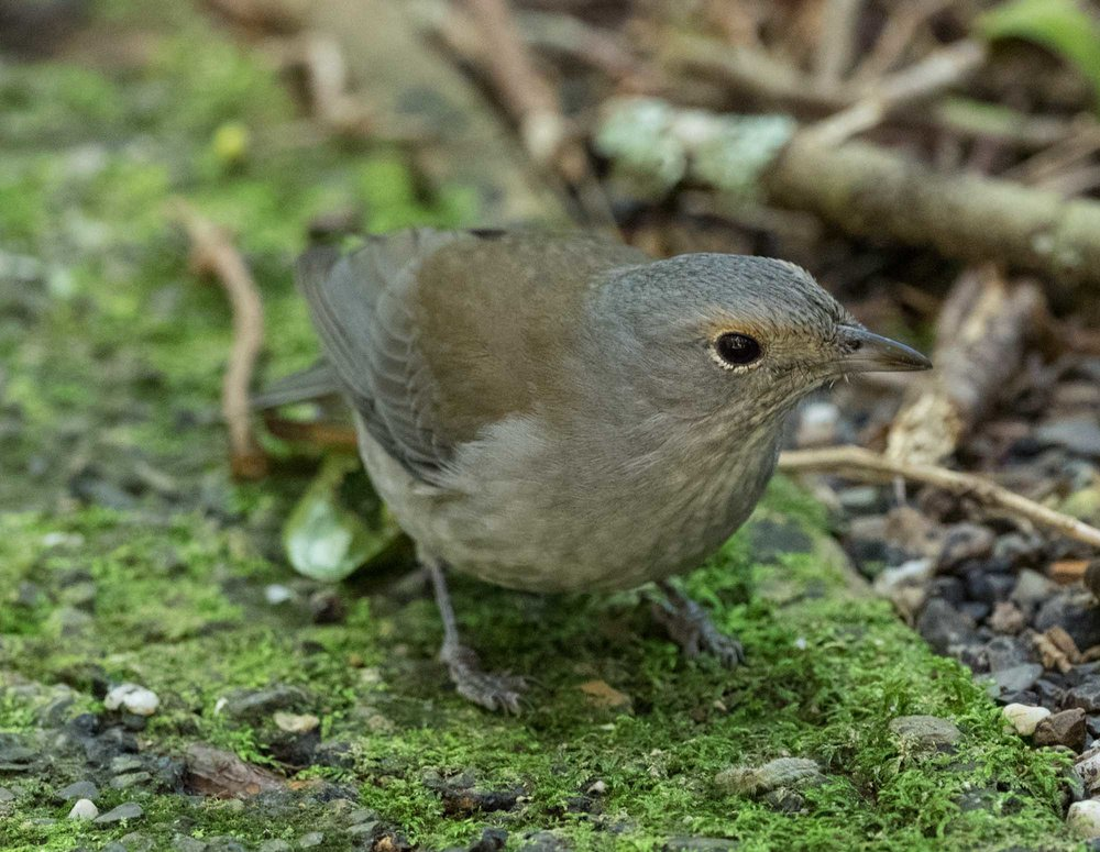 Grey Shrike-thrush, a familiar bird from home. Our birds are much more wary than this individual, which was happy to hunt just a couple of metres away from us.