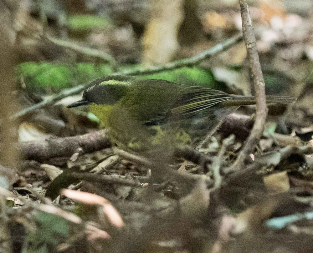 Yellow-throated Scrubwren