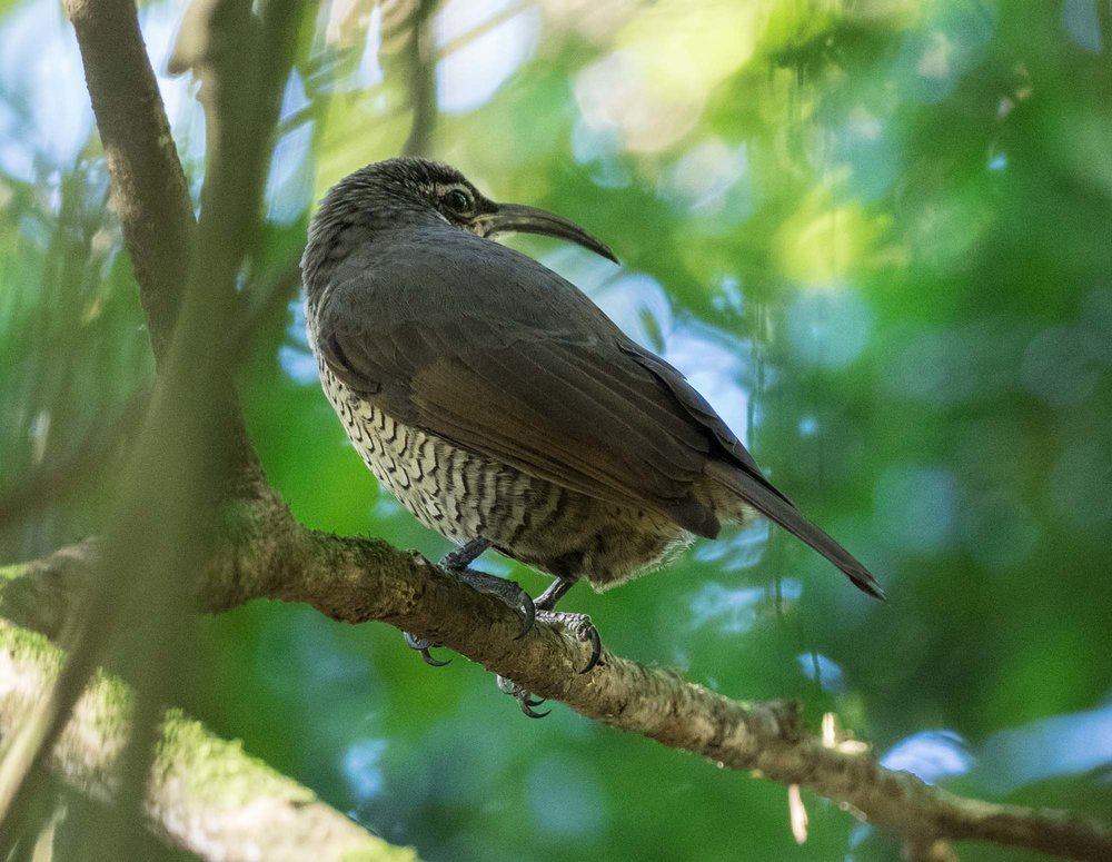 Paradise Riflebird (female)