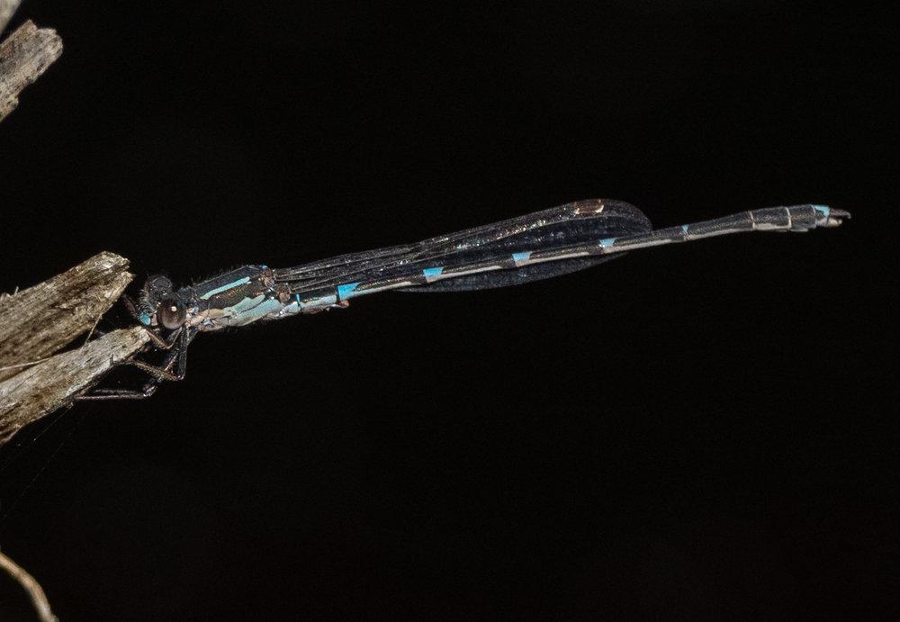 Iota Ringtail ( Austrolestes io)