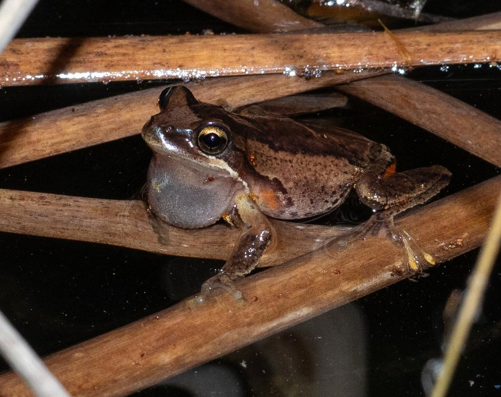 MALE #1:  Litoria verrauxii  ... possibly