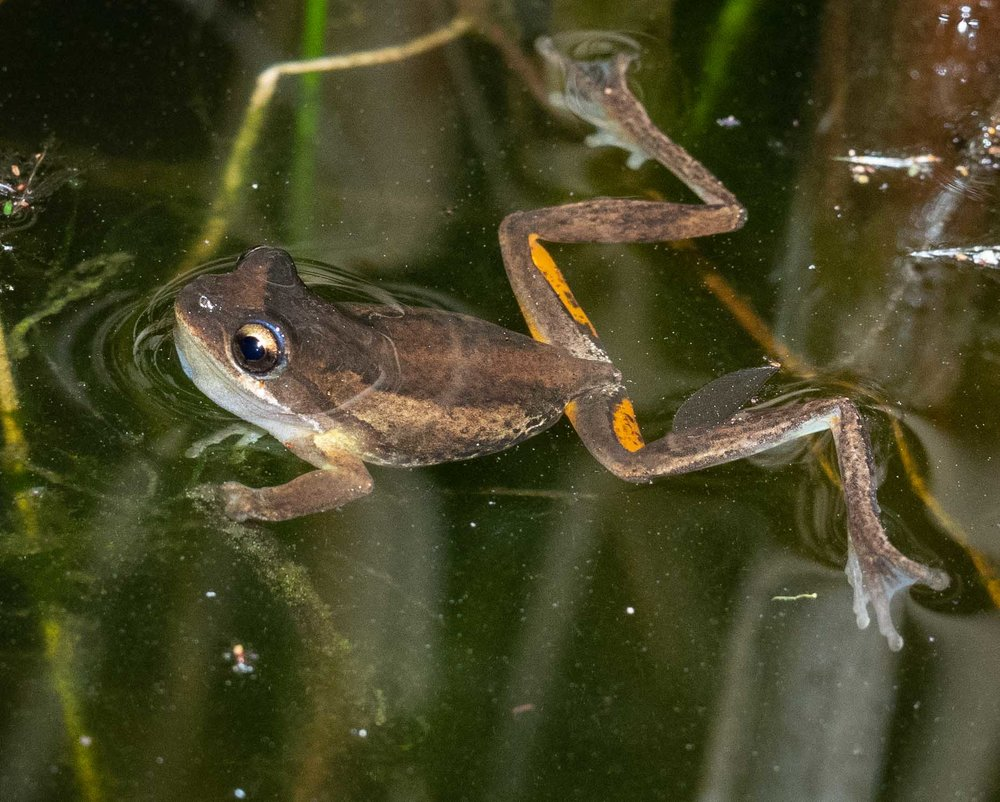 Litoria sp.