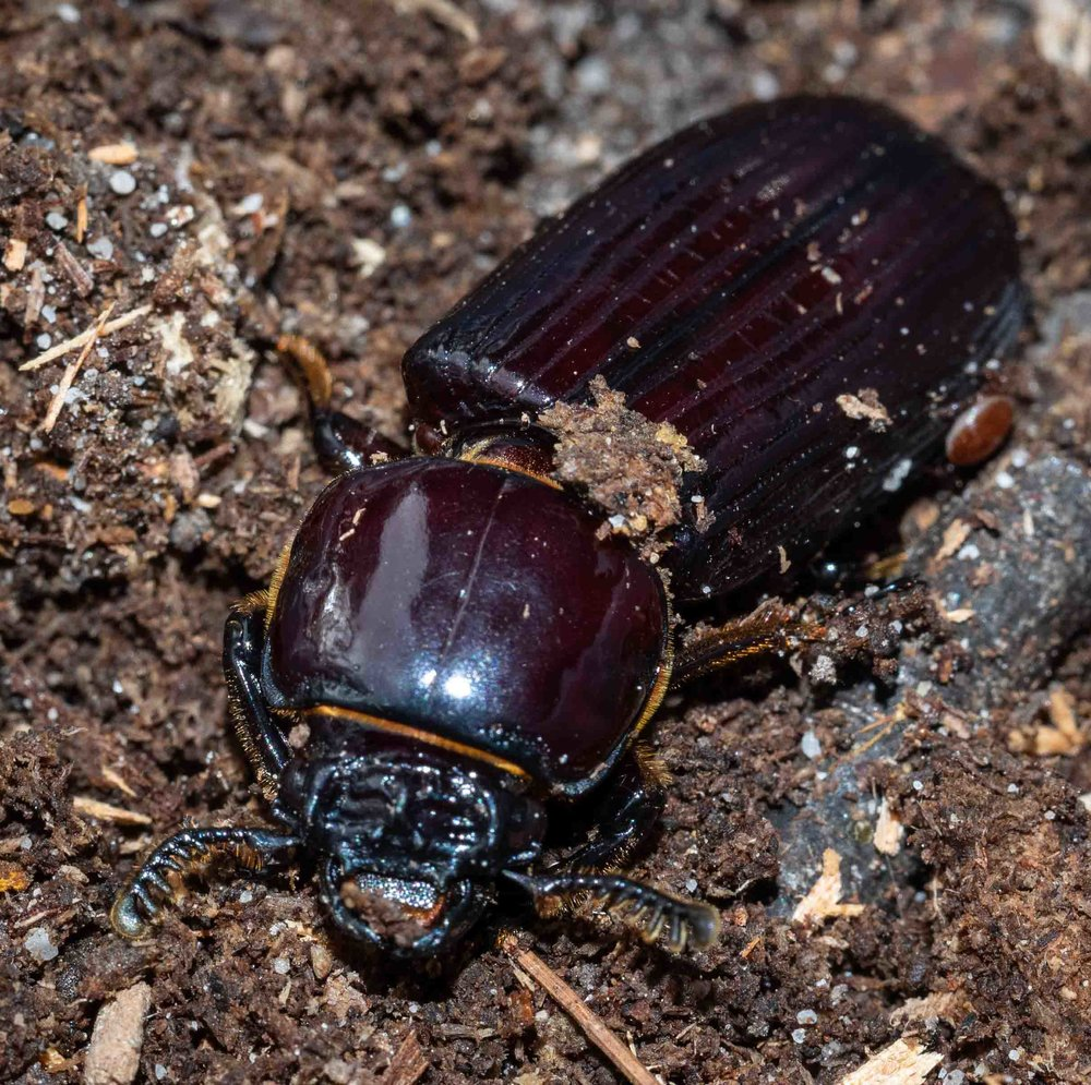 Figure 3: adult beetle of Species 1, with one of the ever-present mites visible on the right