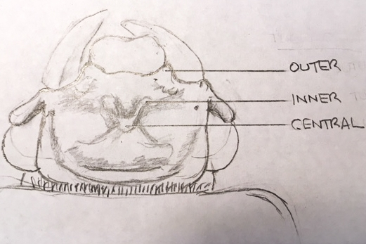 Figure 1: Dorsal view of head, showing tubercles (sketch of Species 1)