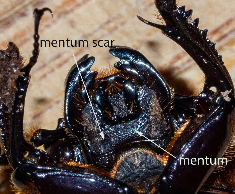 Figure 8: ventral view of head, showing mentum