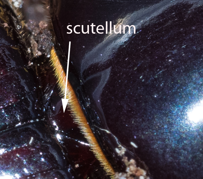 Figure 28: dorsal view of junction between pronoun (right) and elytra (left), showing the triangular scutellum. Anterior is to the right.