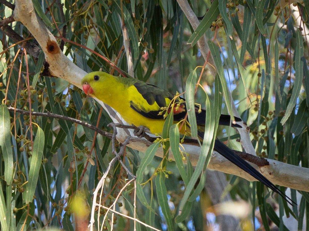 Regent Parrot - male