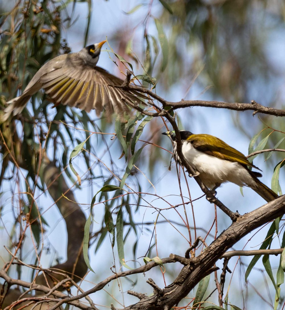 Blue-faced Honeyeater is swooped