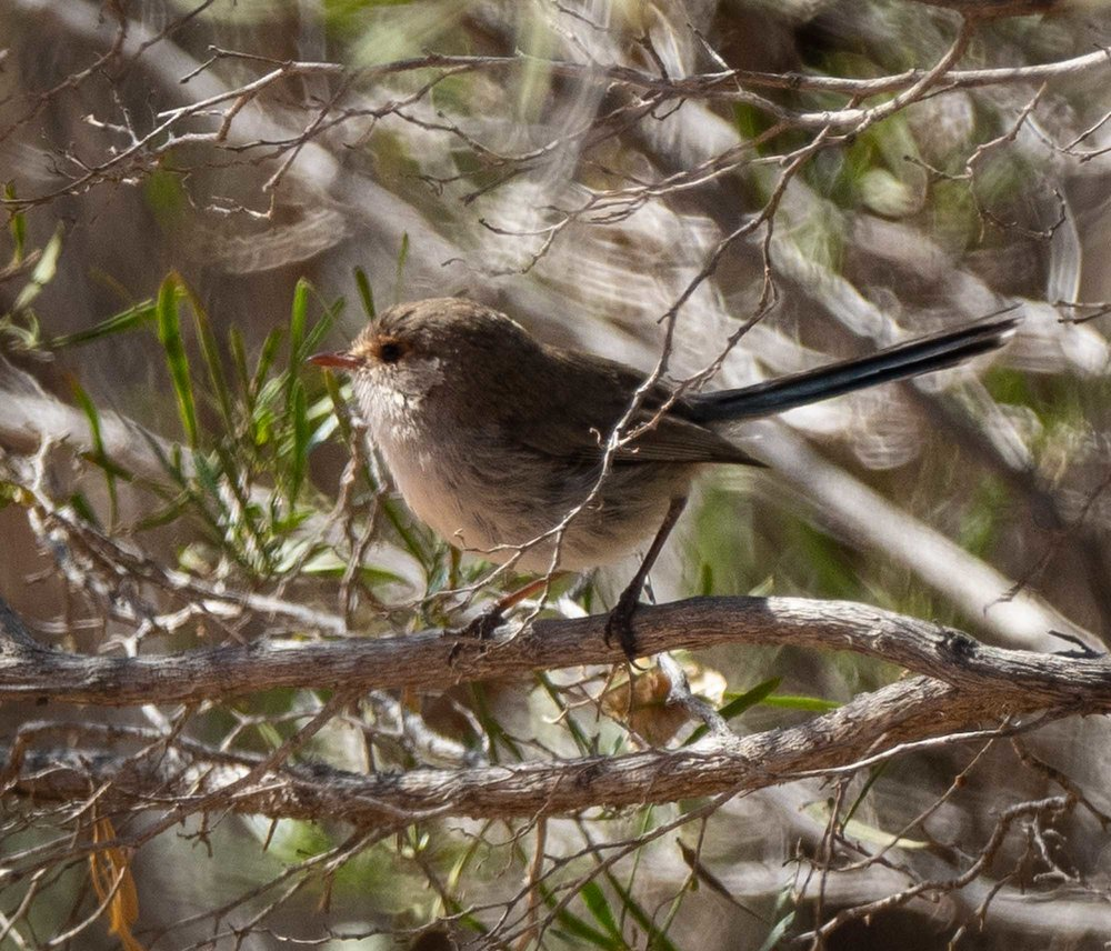 Splendid Fairy-wren - female